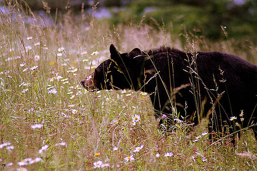 Jason Blalock - Cades Cove Bear