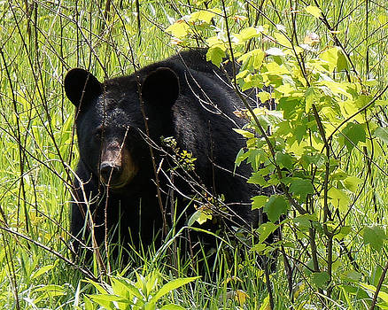Cades Cove Black Bear by TnBackroadsPhotos