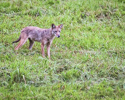Jemmy Archer - Cades Cove Coyote