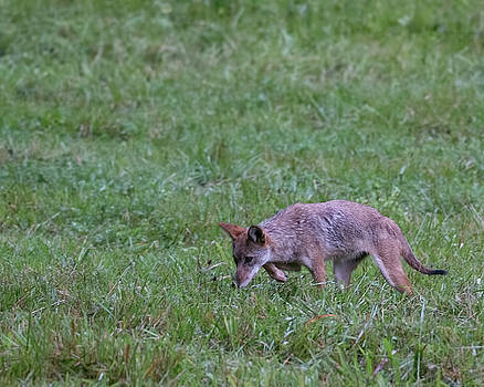 Jemmy Archer - Cades Cove Coyote Stalking