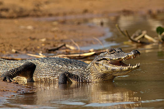 Caiman with Open Mouth by Aivar Mikko