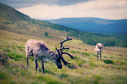 Cairngorms Reindeer by Ray Devlin
