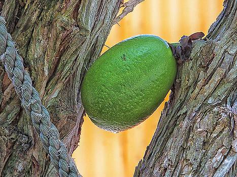 Calabash Fruit by Bill Barber