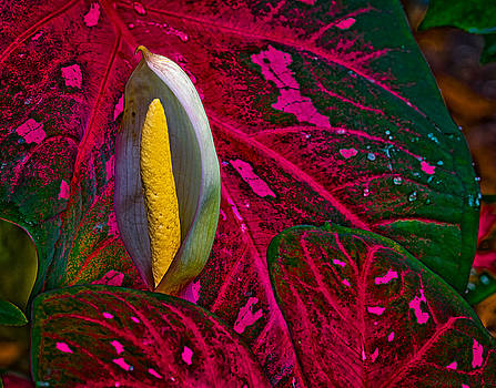 Warren Sarle - Caladium