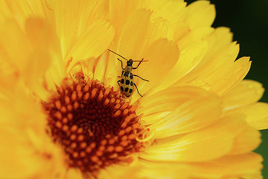 Calandula and  insect by LesJardins Photography