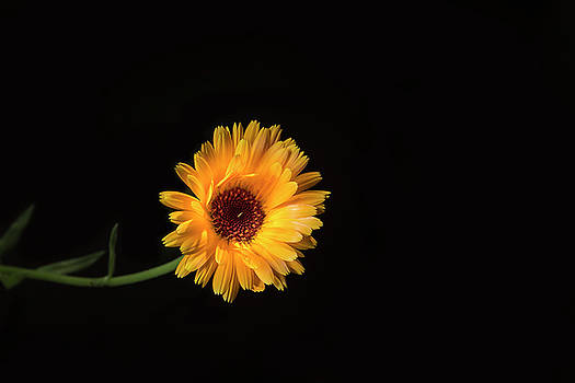 Calendula officinalis, flower macro on a black background by Sergei Dolgov