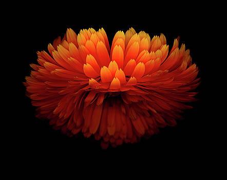 Christopher Gruver - Calendula Sunrise