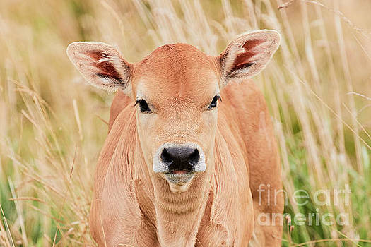 Calf in the high grass by Nick Biemans