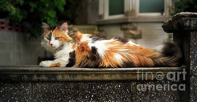 Calico Cat by Craig J Satterlee