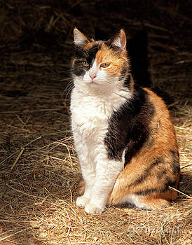 Calico Cat in a Sun Beam by Sari ONeal