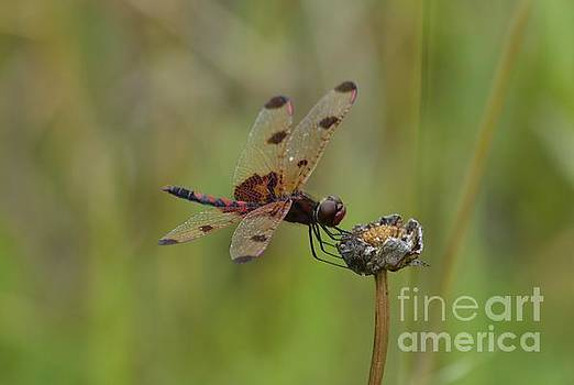 Calico Pennant by Randy Bodkins