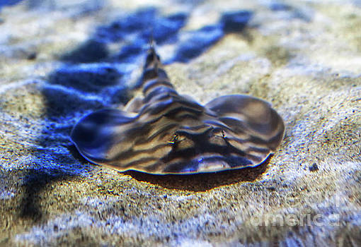 California Butterfly  Ray by Ruth Jolly