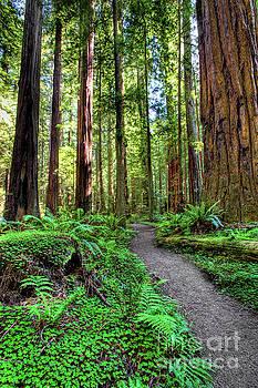 California Ferns Redwoods and Hiking Path by Dan Carmichael