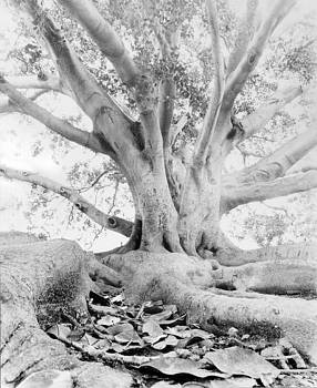 California Fig Tree by John Gilroy