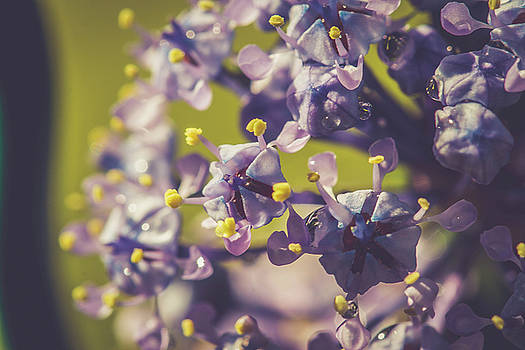 California Lilac by Danielle Silveira