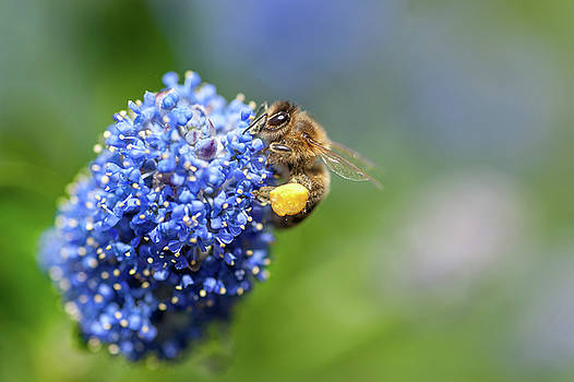 Jenny Rainbow - California Mountain Lilac and Busy Bee