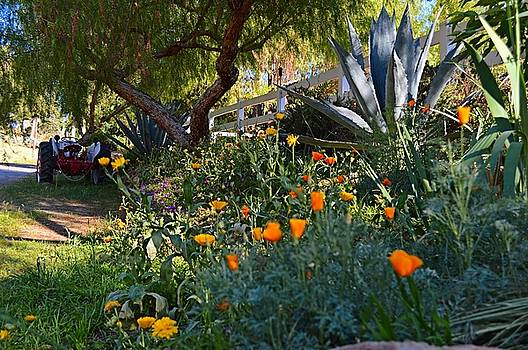 California Poppies and The Old Ford Tractor by Tommi Trudeau