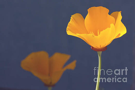 California poppies by Cindy Garber Iverson