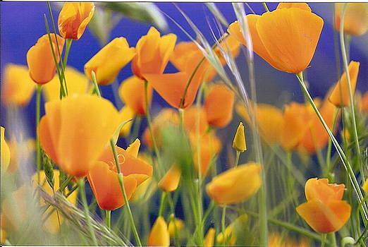 California Poppies by Kellie  Dean