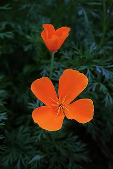 California Poppies by Natalya Shvetsky