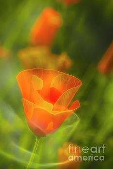 California Poppy 2 by Veikko Suikkanen