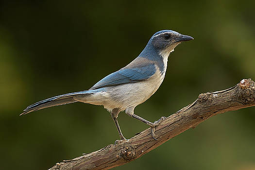 California Scrub Jay by Doug Herr