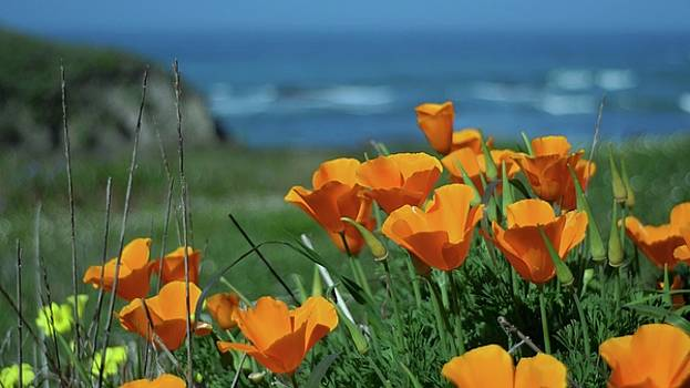 California State Flower - The Poppy by Alex King
