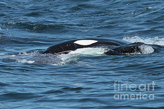 California Transient Orcas in Monterey Bay 2017 by California Views Mr Pat Hathaway Archives