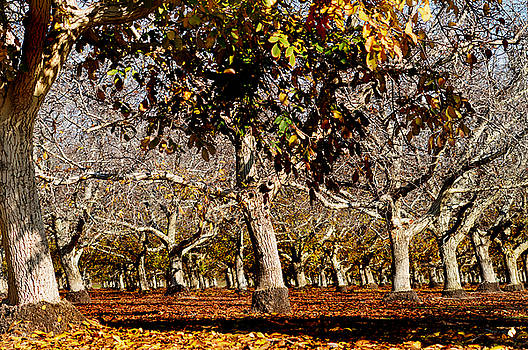 California Walnut Orchard by Pamela Patch