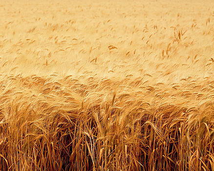 California Wheat Field by Mark Hendrickson
