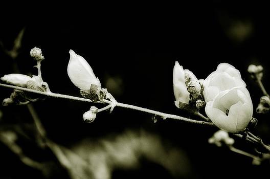 California Wild Flower Linanthus by Rachel Wase