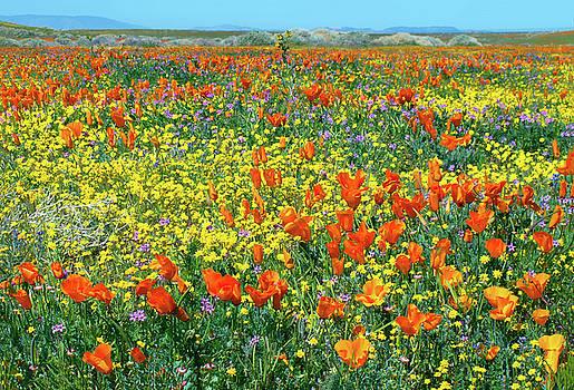 California Wildflower Super Bloom by Ram Vasudev