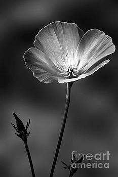 Californian Poppy by John Edwards
