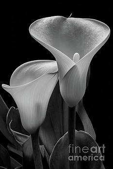 Calla Lilies #4895 by David Perry Lawrence