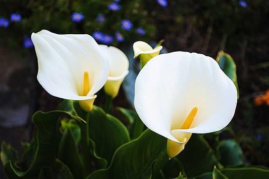 Calla Lilies by Lisa Mueller