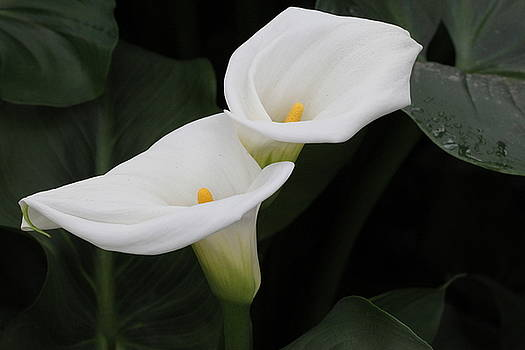 Calla Lillies by Chayla Brown