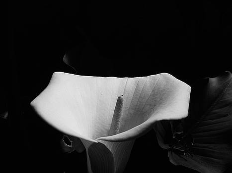 Calla lilly  by Andre Sintenie