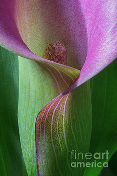 Calla lily 2 by Jim Wright