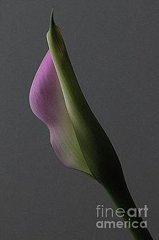 Calla lily 4 by Jim Wright