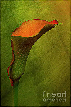 Calla lily 7 by Jim Wright
