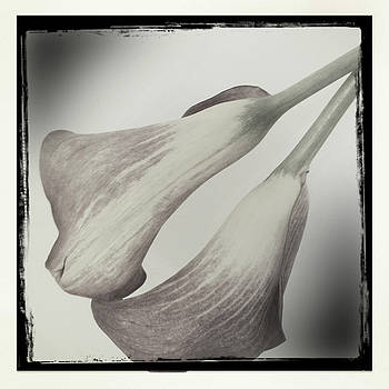 Calla Lily Blush by Dorian Hill