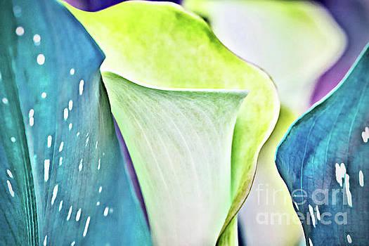 Calla Lilies by Margaret Koc