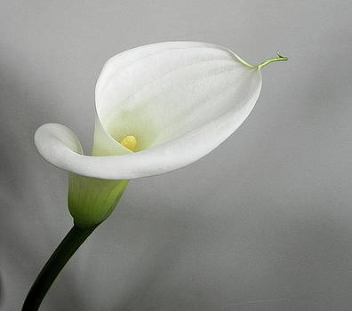 Calla Lily by Steve Rudolph