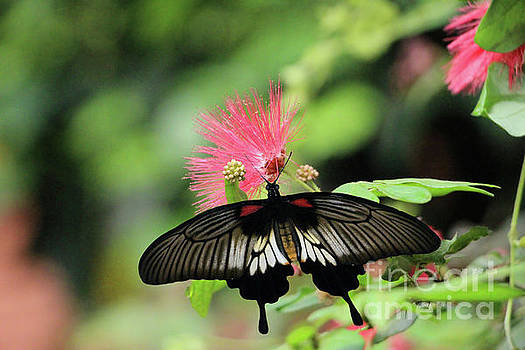 Sandra Huston - Calliandra Blossom and Common Mormon Butterfly