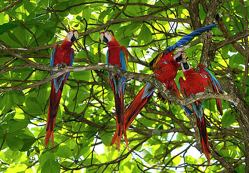 Reimar Gaertner - Calm and agitated pairs of Scarlet Macaws in an Almond tree in C