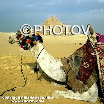 Camel and the Great Pyramids of Giza - Egypt by Hisham Ibrahim