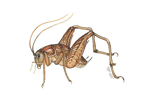 Camel cricket by Cindy Hitchcock