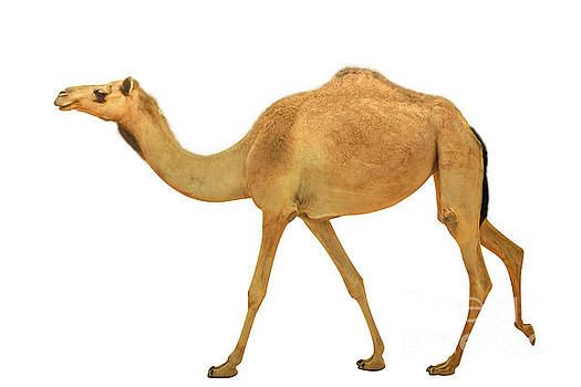 Camel dromedary isolated by Benny Marty