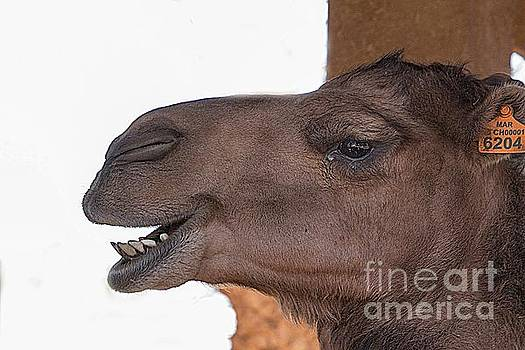 Camel face by Jim Wright