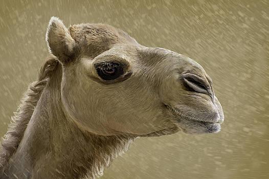 Manuel Lopez - Camel